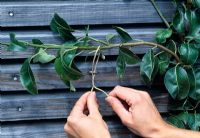 Pear Espalier - Tying new branches of Pyrus 1 year after planting