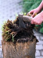 Using an axe to divide Carex