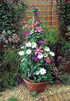 Mixed Clematis trained on flowerbelle in container incuding Clematis 'Elsa Spath', Clematis 'Mrs Bateman' and Clematis 'Literation'