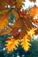 Autumn foliage of Quercus frainetto - Hungarian Oak