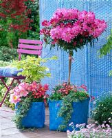 Rhododendron standard and Acer japonicum 'Aureum', underplanted with Bellis, Hedera, Tulipa in blue baskets on terrace