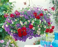 Hanging basket with Verbena Flamenco 'Dark Red', Lobelia 'Blue Star' and Calibrachoa Celebration 'White'