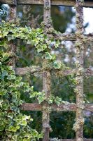 Variegated white ivy and lichen growing on an old wooden fence