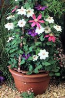 Mixed planting of Clematis 'Elsa Spath', Clematis 'Miss Bateman' and Clematis 'Literation' in pot on patio