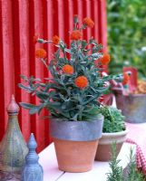 Senecio sempervivus syn. Kleinia semperviva in pot with zinc rim