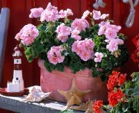 Pelargonium 'Salmon Princess' in pink Jardiniere decorated with shells and wooden lighthouse
