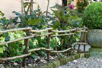 Hand made hazel fencing to support annual Nicotiana and Dahlia 'Fasination'. Box ball in stone urn.