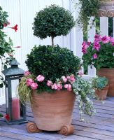 Buxus topiary shrub underplanted with Pelargonium 'Little Lady Bicolor', Hedera and Carex in terracotta container on feet