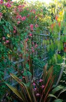 Clematis 'Etoile Rose' climbing trellis fence in modern colourful garden - Bristol