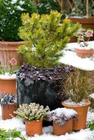 Pinus mugo 'Winter Gold' underplanted with Heuchera 'Obsidian' in a container with other containers covered in snow