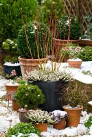 Winter containers in snow. Cornus sericea 'Cardinal' and Erica carnea 'Winter Snow', Carex dipsacea, Heuchera 'Can-Can', Pinus heldreichii 'Smidtii', Buxus sempervirens and Helleborus x hybridus.