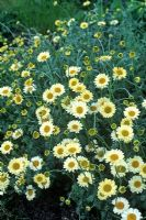 Anthemis 'Susanna Mitchell' - Mayweed