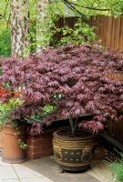 Acer palmatum 'Bloodgood' growing in an Oriental pot sat up on pot feet in the dappled shade of silver birch trees