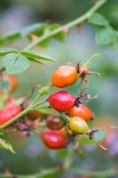 Rosa - Rosehips from english tea rose