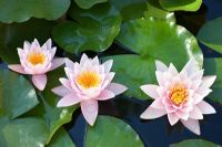 Nymphaea x marliacea 'Rosea' - Pink and white waterlily