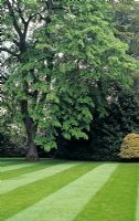 The stripes in this immaculate lawn lead the eye to Tila petiolaris - Weeping lime