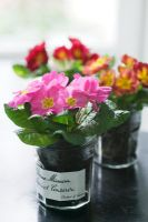 Colourful Primula planted in glass jam jars