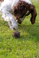 A Springer Spaniel investigating with his paw a 'rolled up' hedgehog on a garden lawn