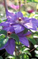 Clematis 'Xerxes' syn Clematis 'Elsa Spath'