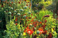 Papaver somniferum 'Danish Flag' in mixed border