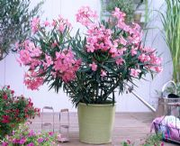 Nerium - Oleander in pale green pot