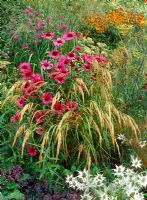 Grasses weaving through Echinacea purpurea 'Rubinglow' with Eryngium giganteum 'Silver Ghost', Molinia and Heleniums in background