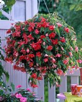 Begonia Belleconia 'Rose' in a hanging basket