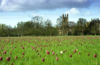 Meadow of Fritillaria meleagris - Snake's Head Fritillary