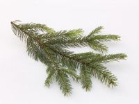 Branch of Picea abies - Red spruce
