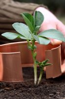 Organic pest control - Copper ring being placed around young Broad Bean plant to deter slugs