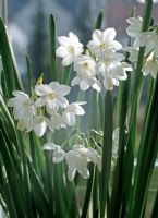 Narcissus 'Paperwhite' - Houseplant