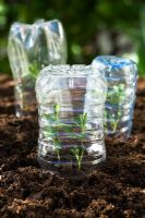 Lathyrus odoratus 'Cupid' - Sweet Pea  seedlings under plastic half bottles used as cloches