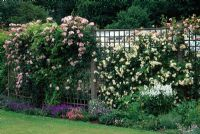 Roses growing on trellis at Meadow Plants, Berks. Left to right Rosa 'Clair Matin', Rosa 'Gardenia' and Rosa 'Francois Juranville'