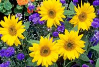 Helianthus 'Pacino' surrounded by Centaurea cyanus