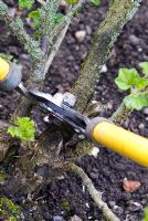 Ribes grossularia - Pruning back old wood of gooseberry bush with loppers in spring - Gowan Cottage, Suffolk