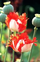 Papaver somniferum 'Danish Flag'