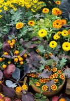 Calendula officinalis with Brassicas - Pot Marigolds, Red Russian Kale, Red Cabbage and Brussels Sprouts