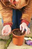 Planting sweet peas - Woman sowing seeds about 2.5 cm deep in plastic pot