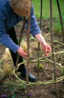 Woman making wigwam for sweet peas - Space the circles about 40 cm apart