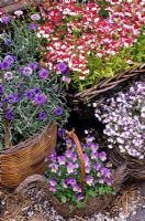 Hardy and half hardy annuals growing in woven baskets - Nemesia 'Mello Red and White', Centaurea cyanus 'Florence Blue', Lobelia 'Regatta Blue Splash' and Viola