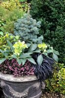 Winter foliage and flowers in a decorated pot from Dragonstone - Picea pungens 'Globosa' with Helleborus argutifolius, Ophiopogon nigrescens, Erica carnea and Euonymus japonicus 'Ovatus Aureus'