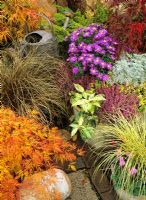 Late summer and autumn containers for foliage and flower colour - Acer palmatum dissectum 'Green Lace', Carex 'Jenneke' underplanted with 'Miracle' cyclamen, Calluna vulgaris 'Aphrodite', Aster Island Series 'Tonga', Leucothoe 'Rainbow' and Carex comans bronze