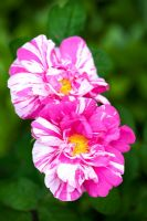 Rosa gallica 'Versicolor' - Said to be named after Fair Rosamund, mistress of Henry II and dates from the 12th century