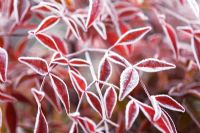 Nandina domestica with frost