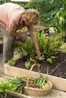Woman picking Beta vulgaris - beetroot grown in raised bed