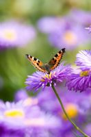 Erigeron 'Dunkelste Aller' with butterfly