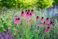 Echinacea pallida in The Walled Garden at Scampston Hall, Yorkshire designed by Piet Oudolf
