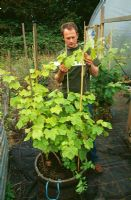 Man training Vitis - Grapevine growing in wooden container