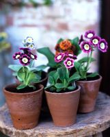 Group of potted Primula auricula - 'Nina', 'Ian Greville' and 'Sir John Hall'