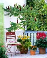 Rhus typhina in pot underplanted with Coreopsis and Lysimachia nummularia, Astilbe and Gaillardia in other pots on balcony with red metal chair.